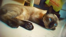 śpiący Hsppy Syjamski kot obraz stock