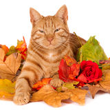 Śpiący imbirowy kot Fotografia Royalty Free