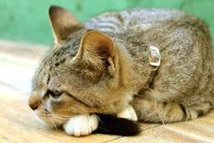 Śpiący kot odpoczywa, urocza figlarka fotografia royalty free