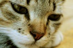 Śpiący kot odpoczywa, urocza figlarka Fotografia Stock