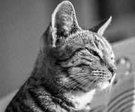 Śpiący kot strony profil Fotografia Stock