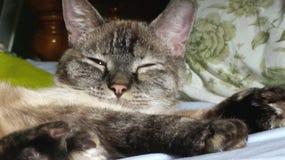 Śpiący Luna kot Zdjęcie Stock