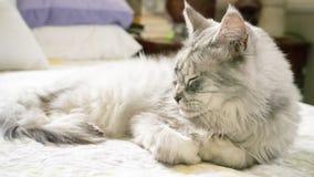 Śpiący Maine Coon Zdjęcie Royalty Free