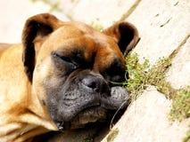 Śpiący pies obrazy royalty free