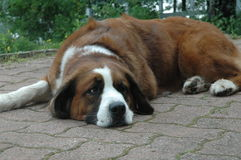 Śpiący pies Obraz Royalty Free