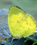 Śpiący Pomarańczowy motyli Abaeis nicippe odpoczywa na białym leadtree Zdjęcie Stock