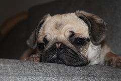 Śpiący Puggy Fotografia Royalty Free