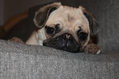 Śpiący Puggy Obraz Royalty Free