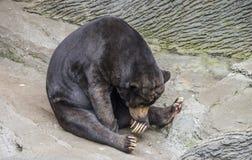 Śpiący słońce niedźwiedź Obrazy Royalty Free