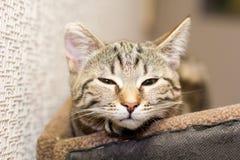Śpiący szary kot Obrazy Royalty Free