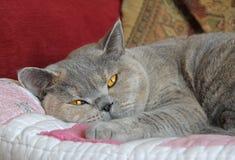 Śpiący zarodowy kot Zdjęcia Royalty Free