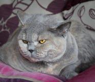 Śpiący zarodowy kot obrazy royalty free