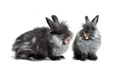 Śpiewaccy króliki Obrazy Stock