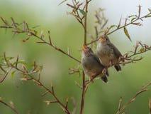Śpiewacki ptak cieszy się sunbathing fotografia royalty free