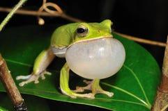 śpiewacki treefrog Zdjęcia Royalty Free