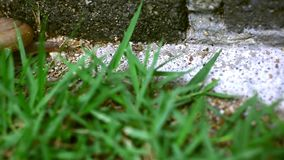 Śpioszka ślimaczek na trawie Makro- wideo zbiory wideo