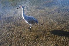 Śródlądowy Jeziorny Ptasi dopatrywanie Zdjęcia Stock