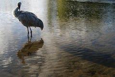 Śródlądowy jeziorny ptasiego dopatrywania odbicie Fotografia Royalty Free