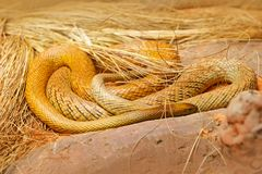 Śródlądowy taipan, Oxyuranus microlepidotus, Australia, jadowity wąż Jadu wąż w trawie Niebezpieczeństwa zwierzę od Australia zdjęcie stock