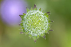 Śródpolna driakiew - Knautia arvensis Fotografia Royalty Free