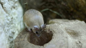 Śródpolna mysz