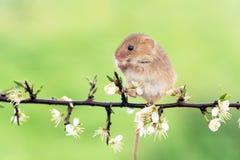 Śródpolna mysz (apodemus sylvaticus) Obraz Royalty Free