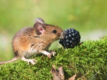 Śródpolna mysz (apodemus sylvaticus) fotografia stock