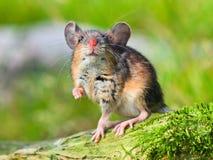 Śródpolna mysz (apodemus sylvaticus) zdjęcie stock