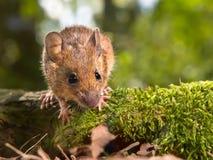 Śródpolna mysz patrzeje w kamerze (Apodemus sylvaticus) obrazy royalty free