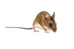 Śródpolna mysz z ścinek ścieżką (Apodemus sylvaticus) zdjęcia royalty free