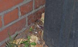 Śródpolna mysz za koszem podczas gdy czekać na autobus, fotografia nabierająca UK zdjęcie royalty free
