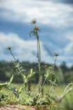 Śródpolna roślina Obrazy Stock