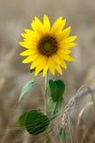 śródpolna słonecznikowa banatka Obraz Stock