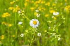 Śródpolna stokrotka na tle żółci kwiaty zdjęcia stock