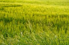 śródpolna trawa Obraz Royalty Free