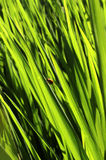 Śródpolna trawa z małą pluskwą zdjęcia stock