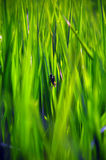 Śródpolna trawa z małą pluskwą obraz royalty free