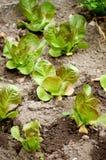 śródpolna zielona sałatka Zdjęcia Royalty Free