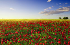 śródpolnego maczka wiosna fotografia royalty free