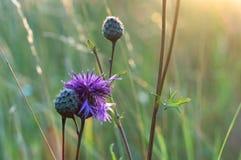 Śródpolnego osetu kwiat, śródpolny kwiat w backlighting, reschovsky łąkowy dziki kwiat Zdjęcia Stock