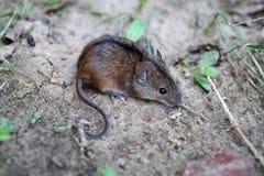 Śródpolnej myszy małe dzikie pozy dla fotografii Apodemus agrarius obrazy royalty free
