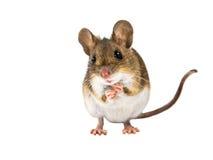 Śródpolnej myszy pozycja na białym tle Obrazy Stock