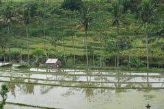 śródpolni Bali ryż Indonesia Obraz Royalty Free