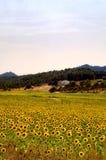 śródpolni dom wiejski słoneczniki Obraz Royalty Free