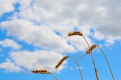 Śródpolni pszeniczni ucho na tła chmurnego nieba letnim dniu Zdjęcia Royalty Free