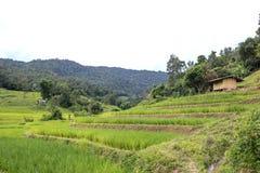 śródpolni ryż obrazy royalty free