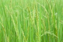 śródpolni ryż Fotografia Stock
