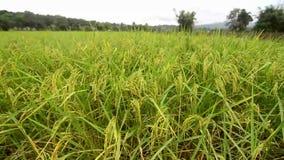 śródpolni ryż zbiory