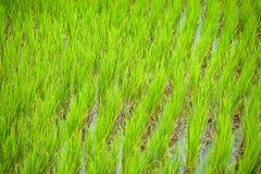 śródpolni ryż Zdjęcie Stock