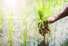 śródpolni ryż Obraz Royalty Free